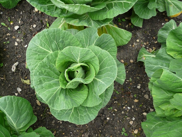 cabbage-2857230_960_720